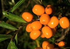 Sea Buckthorn Oil Magic Elixir